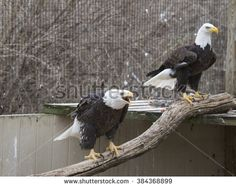 Eagle screeching in cage - stock photo