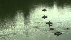 Free HD Background 4U [NO Copyright] :: Ducks Lake Nature Daylight Refle...