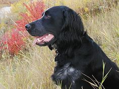 The Blue Picardy Spaniel is a versatile hunting dog, used for its ability to locate and retrieve game in harsh and adverse terrain and conditions. Hunting Dogs, Working Dogs, All Dogs, Dog Breeds, Puppies, Pets, Blue, Spaniels, Image