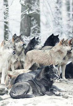 Wolf Pack (by Micha Roder) Wolf Spirit, My Spirit Animal, My Animal, Mundo Animal, Beautiful Creatures, Animals Beautiful, Tier Wolf, Animals And Pets, Cute Animals