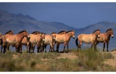 Beautiful: A herd of endangered Przewalski horses are seen at a national park in Mongolia. (Petr Josek, Reuters) #horses #wildhorses