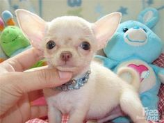 Chihuahua newborn puppies little | and Adorable chihuahua Puppies For sale / Chihuahua / Dogs & puppies ...