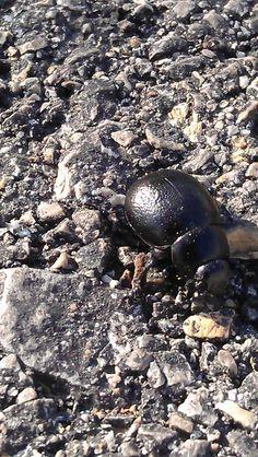 escarabajonegro2