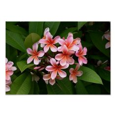 """Also called """"Frangipani."""" A subtropical or tropical flower related to oleander. Its flowers are softly fragrant at daytime and intensifies at night. Its other names are yasmin & champa. Tropical Flowers, Hawaiian Flowers, Tropical Garden, Exotic Flowers, Tropical Plants, Pink Flowers, Beautiful Flowers, Hawaiian Leis, Tropical Colors"""