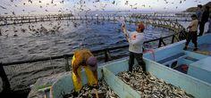 4 nguyên nhân lý giải nuôi trồng thủy sản có thể hỗ trợ an ninh lương thực toàn ... | Vietnam Aquaculture Network - Mạng Thủy sản Việt Nam