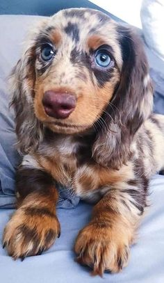 Here you will find the best dachshund products including dachshund clothes costumes pajamas toys supplies and great dachshund gifts ideas. Dachshund Clothes, Dachshund Puppies, Weenie Dogs, Cute Dogs And Puppies, Baby Dogs, Pet Dogs, Doggies, Dachshund Gifts, Daschund