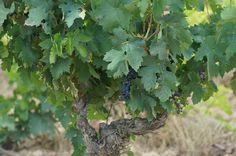 Este año la viña tiene mucha vegetación motivado por la cantidad de lluvia de la primavera