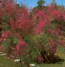 Αλμυρίκι (Τάμαριξ) Tamarix parviflora Θάμνος ή δενδρύλιο, φυλλοβόλος ή ημιαειθαλής, γρήγορης ανάπτυξης, ύψους 4-6μ. Άνθη κρεμ-ρόδινα, εμφανιζόμενα από Μάιο-Ιούνιο σε ταξιανθίες. Ανθεκτικό σε κακής ποιότητας εδάφη (ξηρά, αλατούχα, αλκαλικά κ.α.) Ιδιαίτερα ανθεκτικά στα σταγονίδια της θάλασσας, χρησιμοποιούνται ως ανεμοφράκτες θαλάσσιων ανέμων.