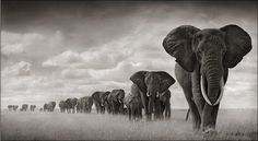 Africans Elephants, Black And White, Nick Brandt, Beautiful, Nickbrandt, Families, Natural, Photography, Animal