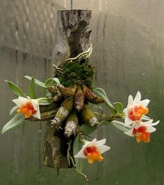 Dendrobium Bellatulum- Miniature Orchid for growing on cork or wood