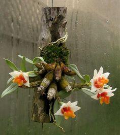 Dendrobium Bellatulum- Miniature Orchid for Grow on Cork