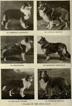1905 'Pillars of the Studbook' photo 1905ColliesRoughStuds.jpg