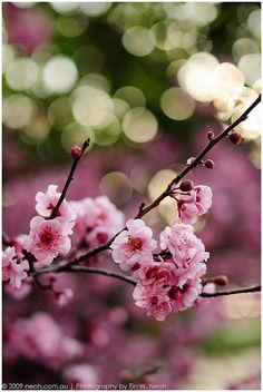 Bokeh & Blossom