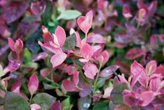 We love Pink Icing™ blueberry for its foliage that is gorgeous from spring to fall - See more at:  http://www.hortmag.com