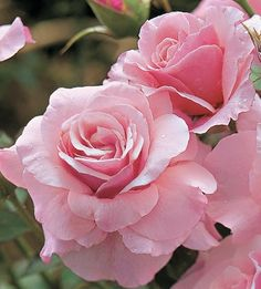 #Beautiful pink roses.