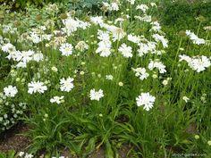 SCABIOSA caucasica 'Perfecta Alba' - Skabiose, farve: hvid, lysforhold: sol, højde: 70 cm, blomstring: juni - oktober, velegnet til snit, god til bier og andre insekter.