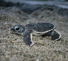 turtles. baby sea turtle