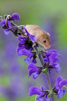 Harvest Mouse - Micromys minutus by Dennis Lorenz, via 500px
