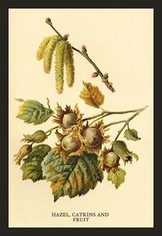 Hazel, Catkins and Fruit