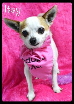 Meet Itsy a Petfinder adoptable Chihuahua Dog | Simi Valley, CA | ALWAYS check our WEBSITE DIRECTLY to see if this dog or puppy is still available.