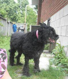 Lost Dog - Bouvier Des Flanders - Etobicoke, Ontario, Canada