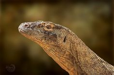 The last dinosaur   Dragón de Komodo (Varanus komodoensis), el último dinosaurio. Los nativos de la isla de Komodo le llaman ora, buaya darat (cocodrilo de tierra).