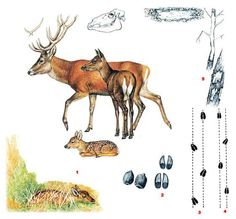 Natur Tattoos, Longhunter, Bushcraft, Teaching Kids, Biology, Deer, Moose Art, Wildlife, Survival