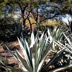 Agaves located along Desert Discovery Loop Trail right before entrance to Center for Desert Living Trail.