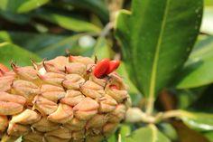Zanica - Magnolia al parco comunale