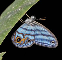 Satyr butterfly (Chloreuptychia herseis) resting at night | Flickr - Photo Sharing!