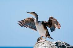 "phalacrocorax carbo - ""cormorant"" by Graziella Serra Art & Photo on 500px"