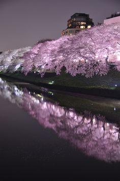 Chidoriga-fuchi Night Sakura 千鳥ヶ淵, Japan