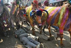 Govardhan festival, cows marching over devotees