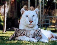 White tiger preciosos!!!
