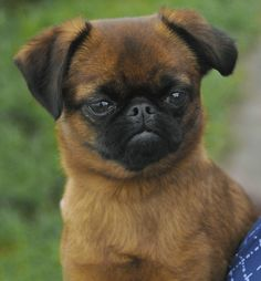 Brussels Griffon Puppies, Griffon Dog, Griffon Bruxellois, Funny Dogs, Cute Dogs, Flat Faced Dogs, Kangal Dog, Dangerous Dogs, Small Dog Breeds