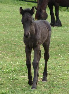 Our First Fell Pony - Fell Legend Farm