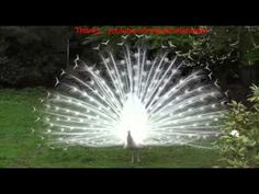 Adisak Kamonsan - Peacock Peacock spread tail-feathers fly peacock pretty much all white. -  YouTube
