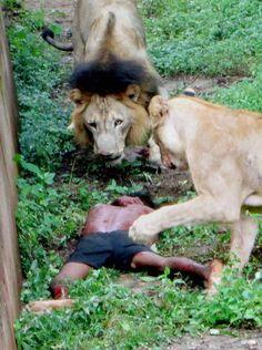 Bhubaneswar: Lions attacking a man who fell inside their enclosure at Nandankanan Zoological Park in Bhubaneswar  http://postnoon.com/2012/10/05/man-jumps-into-lion-enclosure-at-nandankanan-zoo-injured/78052