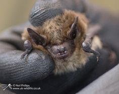 Rescued Serotine bat being care for by EssexBatGroup