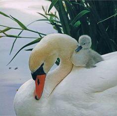 Swan Love, Beautiful Swan, Beautiful Birds, Animals Beautiful, Swan Pictures, Bird Pictures, Animal Pictures, Animals And Pets, Baby Animals