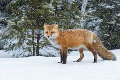 """""""A Fox in New Snow"""" - By Daniel Parent"""