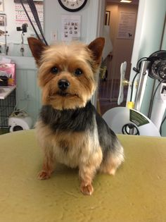 Dog grooming before after gallery torrance california and dog dog grooming solutioingenieria Choice Image