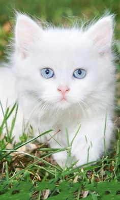 Beautiful white kitten