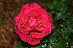 Red rose in the morning