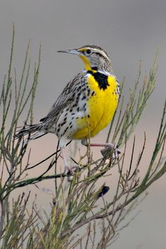 """Western Meadowlark - state bird of Montana """"One of our sweetest, loudest songsters is the meadow-lark . the plains air seems to give it a voice, and it will perch on the top of a bush or tree and sing for hours in rich, bubbling tones. Kinds Of Birds, Birds 2, Small Birds, Colorful Birds, Wild Birds, Love Birds, Pretty Birds, Beautiful Birds, Backyard Birds"""