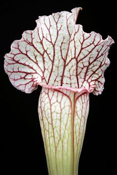 Sarracenia hybrid from the pitcher plant project