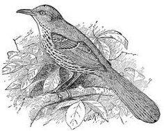brown thrasher coloring page - bobwhite quail google search wood badge pinterest