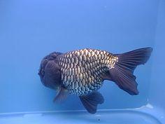 China Goldfish Find details about China Oranda, Ryukin from Goldfish - Beijing Pet Company Comet Goldfish, Goldfish Bowl, Lionhead Goldfish, Betta Fish, Fish Fish, Fish Information, Golden Fish, Cool Fish, Aquarium Fish