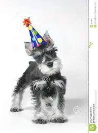 「happy birthday schnauzer」の画像検索結果