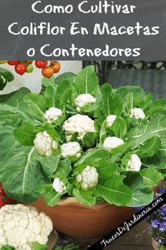 Como Cultivar Coliflor En Macetas o Contenedores Eco Garden, Diy Garden Bed, Garden Deco, Garden Bar, Edible Garden, Garden Plants, Dream Garden, Herb Garden In Kitchen, Vegetable Garden Design